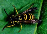 Yellowjacket (wasp)